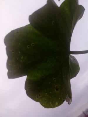 Пеларгония зональная: фото, условия выращивания, уход и размножение