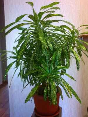 Кротон - Codiaeum: фото, условия выращивания, уход и размножение