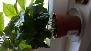 Кофе - Coffea: фото, условия выращивания, уход и размножение