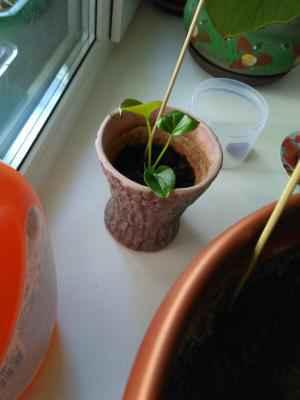 Антуриум - Anthurium: фото, условия выращивания, уход и размножение
