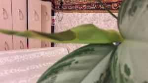 Аглаонема - Aglaonema: фото, условия выращивания, уход и размножение