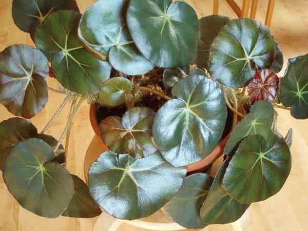 Бегония, краснолистная : описание и уход за комнатным растением