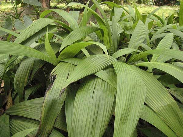 Гипоксиевые  Орхидея