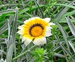 Дизиготека - Dizygotheca: фото, условия выращивания, уход и размножение