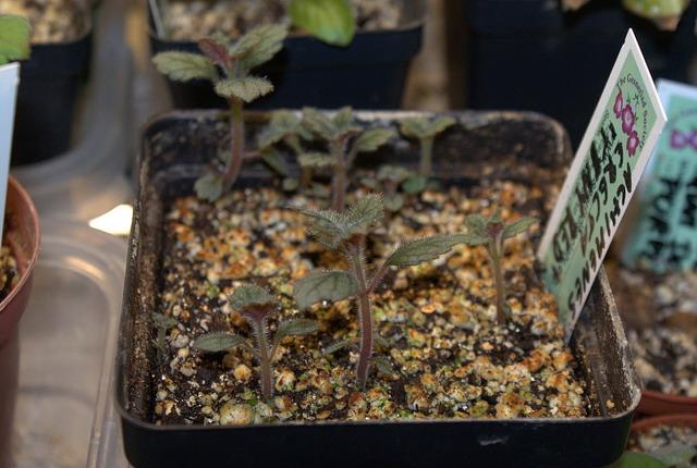 Проращивание ахименеса из клубеньков
