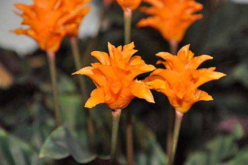 Calathea crocata for Maranta pianta