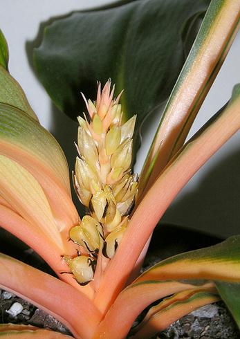 Chlorophytum orchidastrum flower