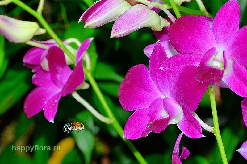 Dendrobium Red Bull and Amegilla bee