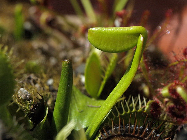 Dionaea Spring Growth