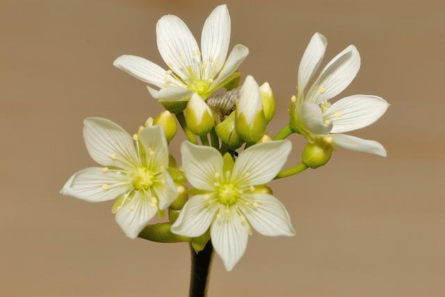 Цветок дионеи