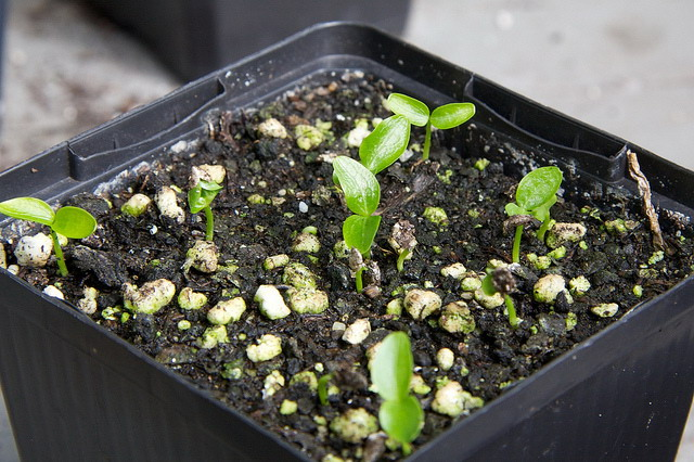 Fatsia japonica seedlings