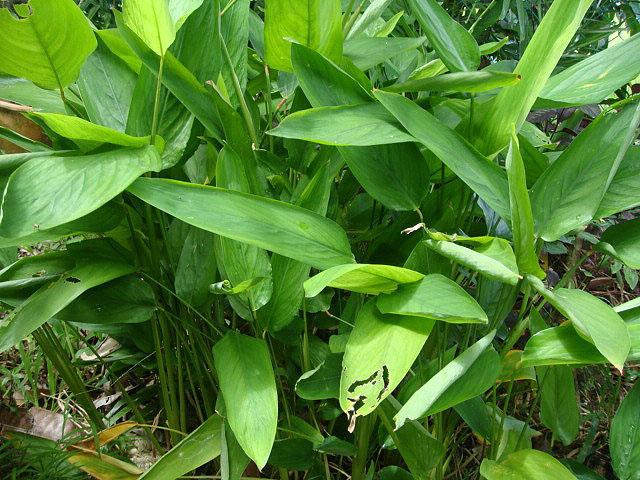 Маранта тростниковая Maranta arundinacea