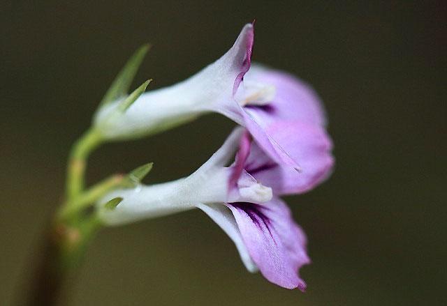 Цветок маранты