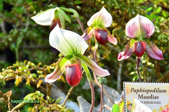 Пафиопедилум - Paphiopedilum: фото, условия выращивания, уход и размножение