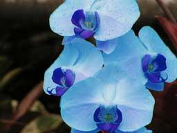 Phalaenopsisblue