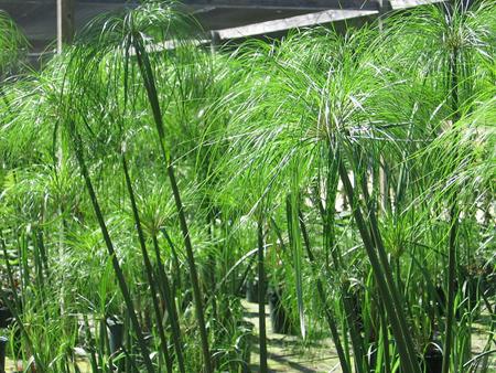 """Картинки по запросу циперус (сыть, """"растение-зонтик"""") раскидистый, папирус;"""