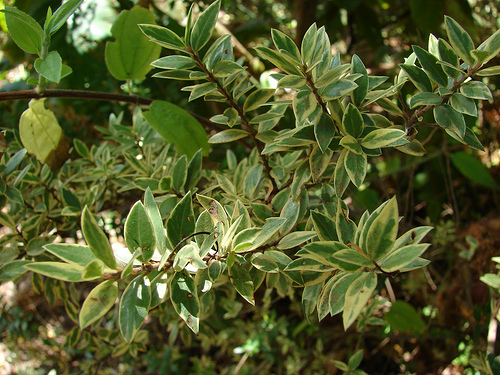 Мирт - Myrtus: фото, условия выращивания, уход и размножение