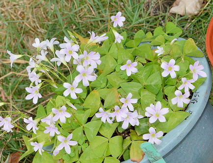 Oxalis triangularis 'Marmer'