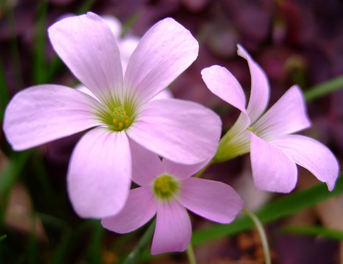 Oxalis triangularis flower