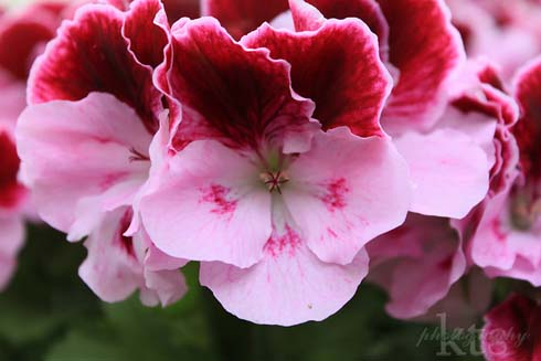 pelargonium Elegant Purple Majesty