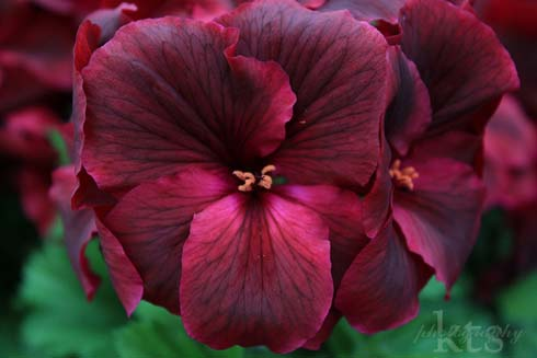 pelargonium Regal Elegance Burgundy