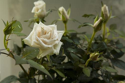 Сколько листьев должно быть у розы