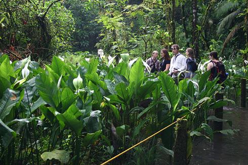 Spathiphyllum friedrichsthalii in La Selva Biological Station, Costa Rica